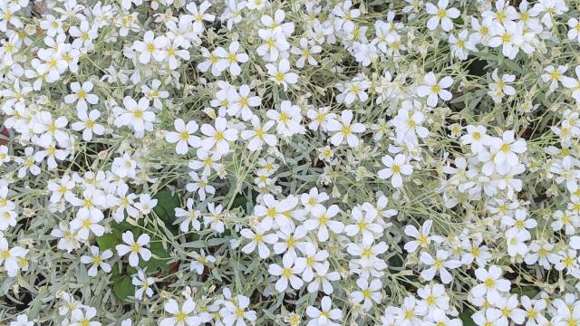ちなみにこの花はシロミミナグサ